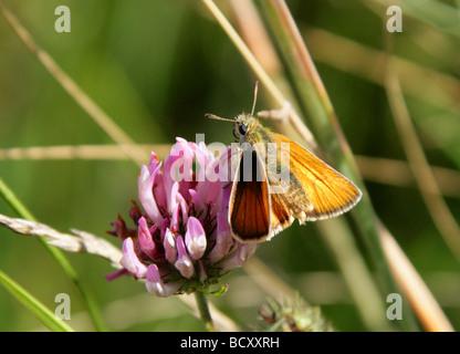 Small Skipper Butterfly, Thymelicus sylvestris, Hesperiidae, Lepidoptera. Female - Stock Photo