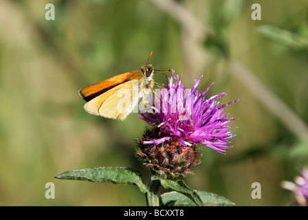 Small Skipper Butterfly, Thymelicus sylvestris, Hesperiidae, Lepidoptera. Male - Stock Photo