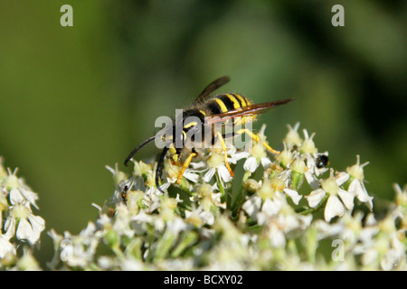 Common Wasp, Vespula vulgaris, Vespidae, Vespoidea, Hymenoptera - Stock Photo
