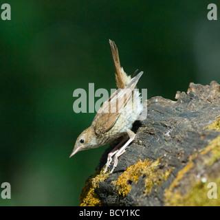 Nightingale Luscinia megarhynchos Hungary - Stock Photo