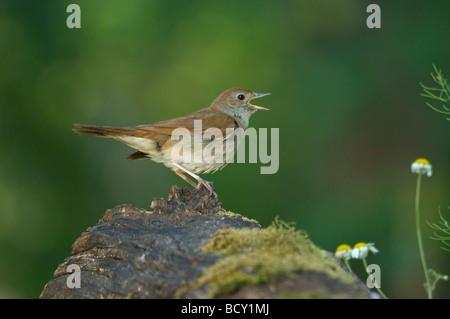 Nightingale Singing Luscinia megarhynchos Hungary - Stock Photo