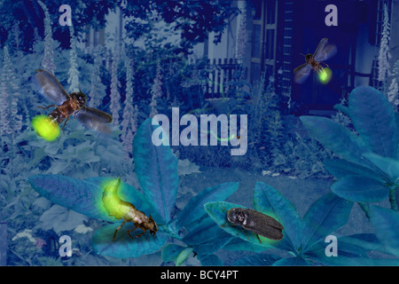 glowworm  fireflight  lightning bugs / Lampyridae - Stock Photo