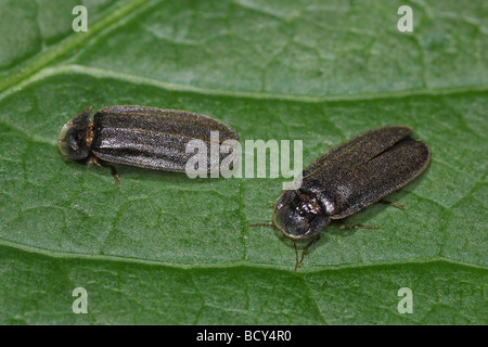 glowworm  fireflight  lightning bugs / Lampyridae - Stock Photo