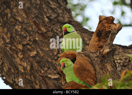 A mated pair of Rose-ringed Parakeet (Psittacula kramer), also called Ringnecked Parakeets, make their nest in a - Stock Photo