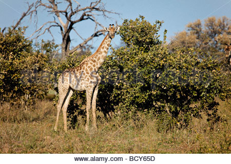 A Giraffe of the South African subspecies, Giraffa camelopardalis giraffa,  in Moremi Game Reserve in northern Botswana, - Stock Photo