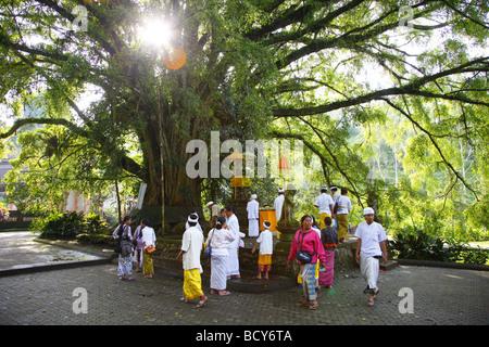 Bodhi Tree (Ficus religiosa), Tirta Empul, in the morning light, Bali, Republic of Indonesia, Southeast Asia - Stock Photo