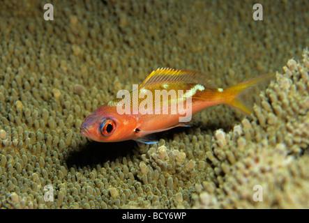 Yellowback fusilier (Caesio xanthonodus), night colors, above coral, Similan Islands, Andaman Sea, Thailand, Asia, - Stock Photo