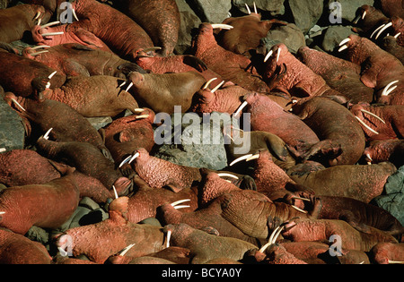 Odobenus Rosmarus / Haulout of male Walrus , Bachelour Group - Stock Photo