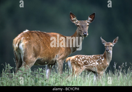 Cervus elaphus / red deer, wapiti - Stock Photo