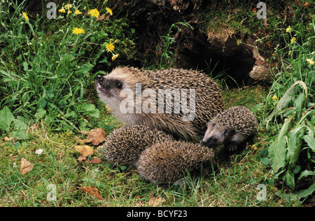 European Hedgehog (Erinaceus europaeus). Mother with three young next to a hollow log. Germany - Stock Photo