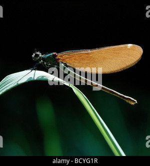 Bluewing / demoiselle agrion / Calopteryx virgo - Stock Photo