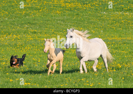 Connemara pony horse with foal - running on meadow - Stock Photo