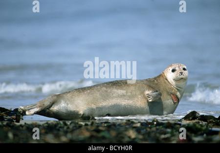 seal on beach / Phoca vitulina - Stock Photo