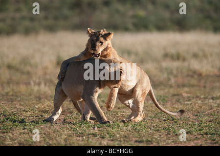Subadult lions Panthera leo young males playfighting Kgalagadi Transfrontier Park Northern Cape South Africa - Stock Photo