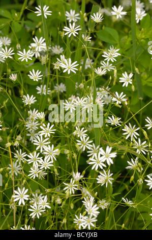 Lesser Stitchwort, stellaria graminea, wildflower, Fleet Valley, Dumfries & Galloway, Scotland - Stock Photo