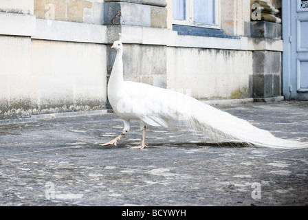 France The royal Palace of Fontainebleau white peacock - Stock Photo