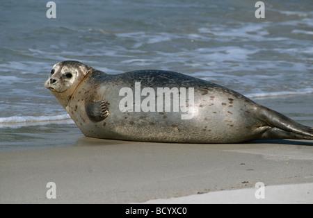 common seal , harbour seal / Phoca vitulina - Stock Photo