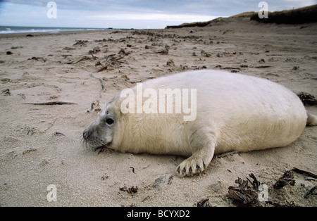 Halichoerus grypus / gray seal - Stock Photo