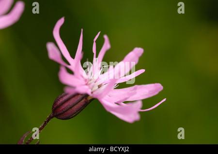 Ragged-Robin, lychnis flos-cuculi, wildflower, Fleet Valley, Dumfries & Galloway, Scotland - Stock Photo