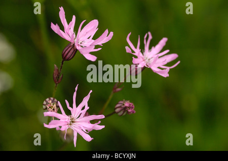 Ragged-Robin, lychnis flos-cuculi, wildflower, Fleet Valley, Dumfries & Galloway, Scotland - Stock Photo
