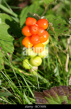 Cuckoo Pint, Arum maculatum, Araceae. Also Known as Lords and Ladies, Cuckoo Pintle and Wake Robin. - Stock Photo