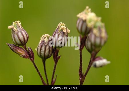 Seed pods of Ragged-Robin, lychnis flos-cuculi, wildflower, Fleet Valley, Dumfries & Galloway, Scotland - Stock Photo