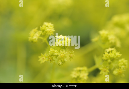 Alchemilla Mollis Lady's Mantle in spring - Stock Photo