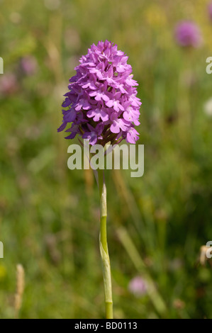 Pyramidal Orchid, anacamptis pyramidalis, wildflower along Solway Coast near Knockbrex, Dumfries & Galloway, Scotland - Stock Photo