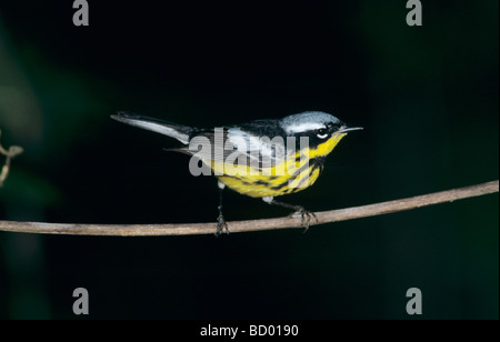 Magnolia Warbler Dendroica magnolia male South Padre Island Texas USA May 2005 - Stock Photo
