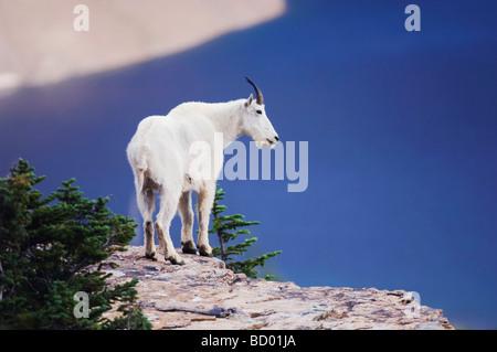 Mountain Goat Oreamnos americanus adult with summer coat on rock ledge over Hidden Lake Glacier National Park Montana - Stock Photo