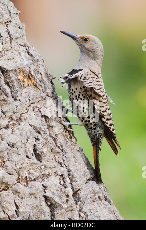 Northern Flicker Colaptes auratus Red shafted form female perched Rocky Mountain National Park Colorado USA June - Stock Photo
