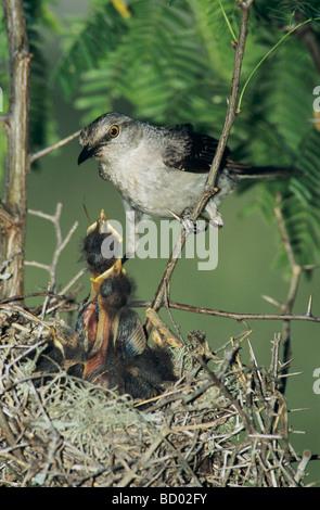 Northern Mockingbird Mimus polyglottos adult at nest feeding young Welder Wildlife Refuge Sinton Texas USA June - Stock Photo