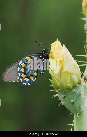 Pipevine Swallowtail Battus philenor adult on Texas Prickly Pear Cactus Opuntia lindheimeri Uvalde County Hill Country - Stock Photo