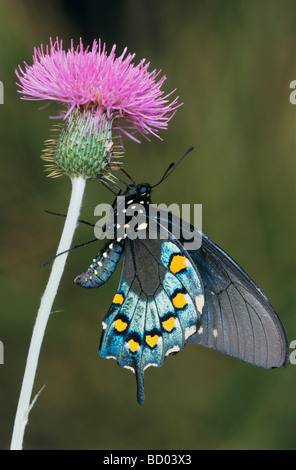 Pipevine Swallowtail Battus philenor adult on thistle Uvalde County Hill Country Texas USA April 2006 - Stock Photo
