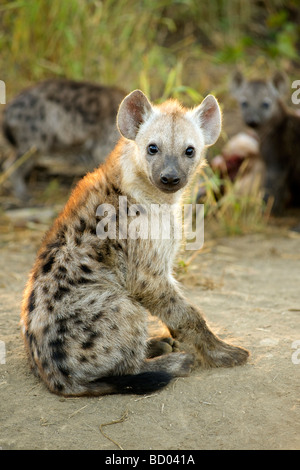 A young spotted or laughing hyena (Crocuta crocuta) in South Africa's Kruger National Park. - Stock Photo