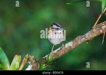 Rufous collared Sparrow Zonotrichia capensis adult perched Bosque de Paz Central Valley Costa Rica Central America - Stock Photo