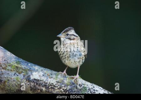 Rufous collared Sparrow Zonotrichia capensis immature perched Bosque de Paz Central Valley Costa Rica Central America - Stock Photo