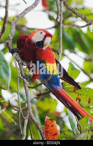 Scarlet Macaw Ara macao adult in Almond tree Tarcol Central Pacific Coast Costa Rica Central America December 2006 - Stock Photo