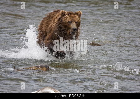 A Brown Bear (Grizzly Bear) (Ursus arctos) charges after a salmon through the Brooks River of Katmai National Park, - Stock Photo
