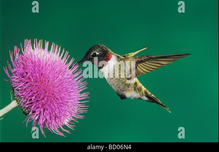 Ruby throated Hummingbird Archilochus colubris male feeding on Texas Thistle Cirsium texanum Welder Wildlife Refuge - Stock Photo