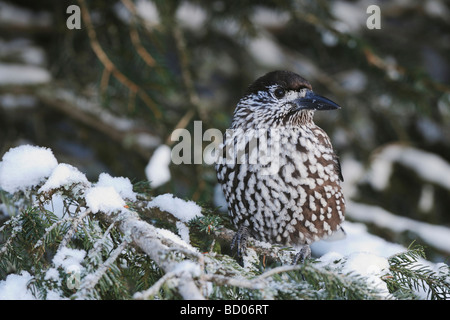 Spotted Nutcracker Nucifraga caryocatactes adult perched on Norway spruce ruffled by minus 15 Celsius Davos Switzerland - Stock Photo
