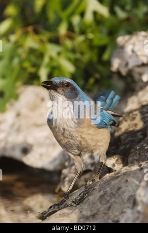 Western Scrub Jay Aphelocoma californica adult drinking from spring fed pond Uvalde County Hill Country Texas USA - Stock Photo