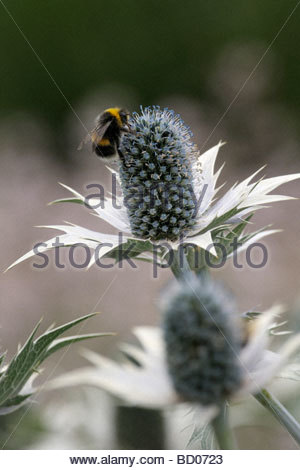 Close up image of a Bee on Blue Eryngium, England, UK - Stock Photo