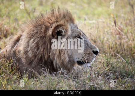 Profile of a male Lion photgraphed in the Savute/Savuti area of Chobe National Park in Botswana - Stock Photo