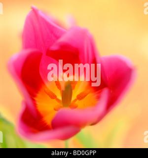 contemporary tulip epitomising spring fine art photography Jane Ann Butler Photography JABP273