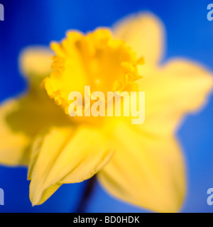epitome of a springtime daffodil fine art photography Jane Ann Butler Photography JABP286 - Stock Photo