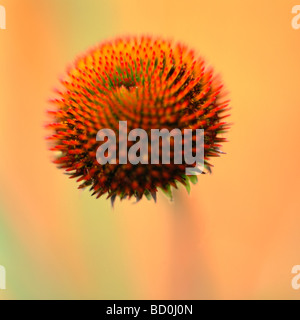 a showy flower found in herbal medicines fine art photography Jane Ann Butler Photography JABP284 - Stock Photo