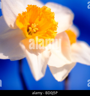 beautiful spring daffodils the epitome of spring fine art photography Jane Ann Butler Photography JABP289 - Stock Photo