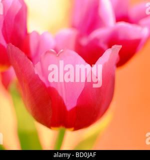 contemporary tulips fine art photography Jane Ann Butler Photography JABP274 - Stock Photo