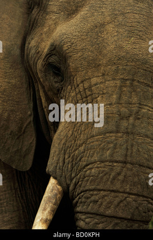Royal Hlane National Park, Swaziland, close up, face of African Elephant, Loxodonta africana, animal, safari, wildlife - Stock Photo